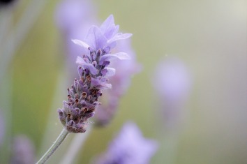 lavender-1359791_1280