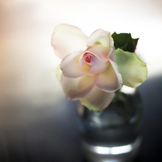 rose-2563796_960_720